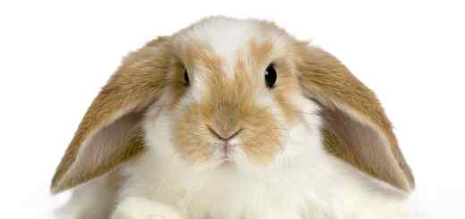 Lop-Eared-Rabbit-Laying-Dow
