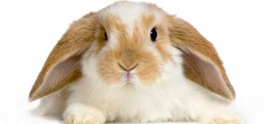 close-up on a Lop Rabbit in front of a white background and looking at the camera